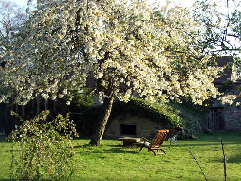 The Cherry Tree in blossom in the walled kitchen garden by the Saddlery Cottage