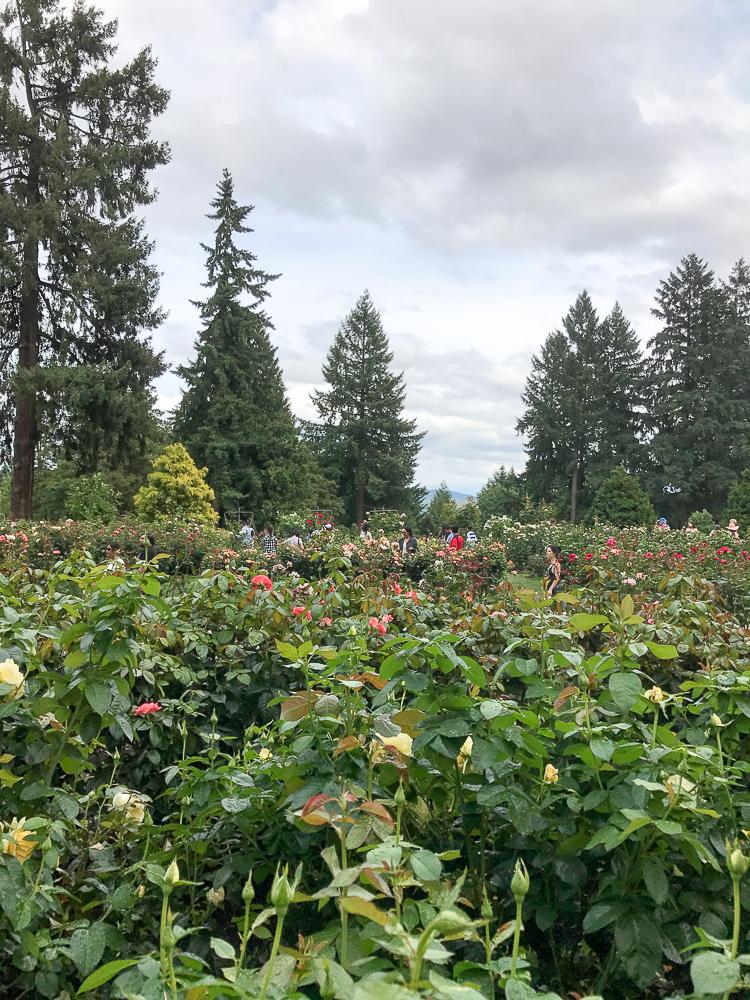 endless rose rows