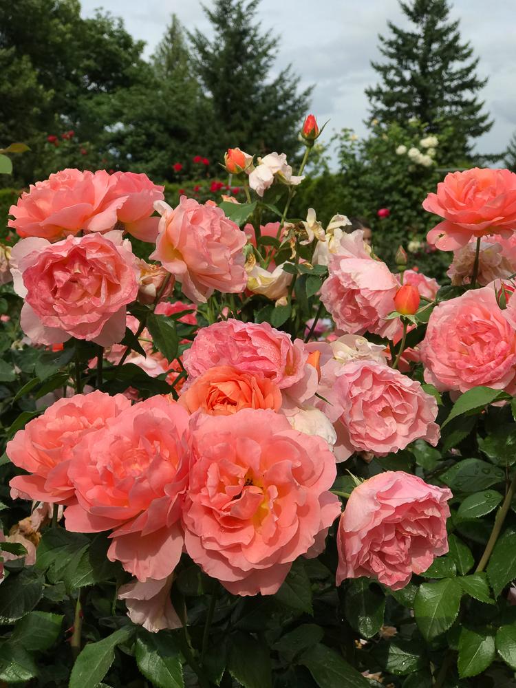 coral roses