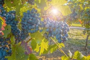 grapes-580346_640