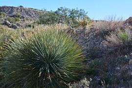 yucca-210131__180