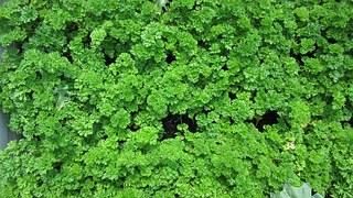 parsley-891599__180