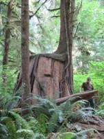a big old stump