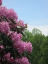rhododendron & butterfly