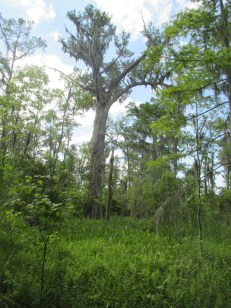 tall cypress growing on a midden