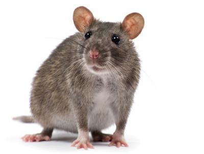 rat-brun-deratisation-conseil-hygiene-solution