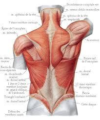 planche anatomique du dos