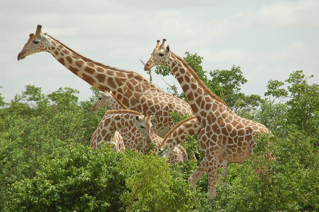 Les girafes du parc W © Roland