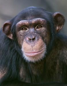 Alternativtekst apen Julius