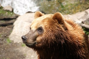 Kamschatka Bär