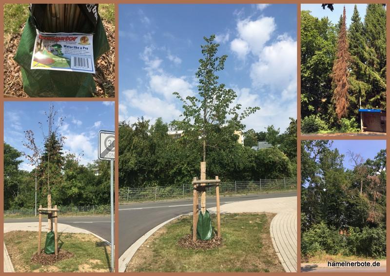 Folgen der Trockenheit für Bäume in Hameln