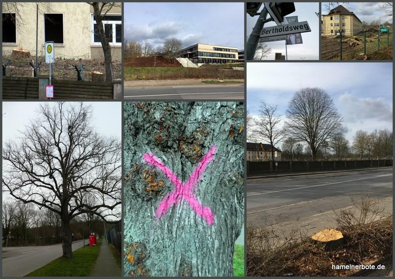 Gefällt und markiert zum Fällen (Reimerdeskamp Hameln). Bäume in Hameln und die Stadtplanung