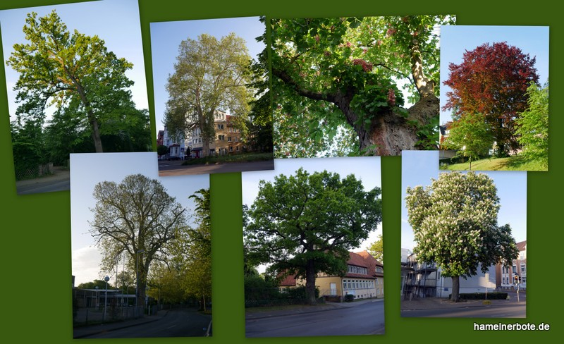 Sammlung: Schöne Stadtbäume in Hameln (1)
