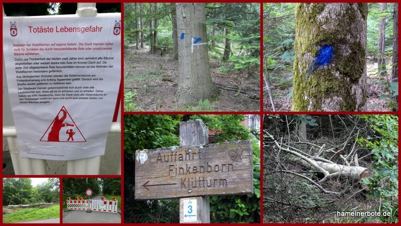 Abschied nehmen: Klütwald / alte Bäume am Finkenborner Weg. Das Waldsterben ist deutlich sichtbar.