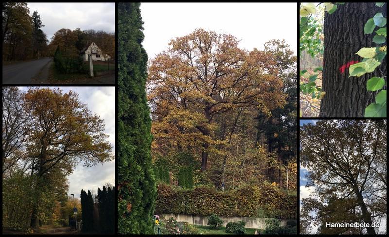 """Beispielbaum """"historische"""" Eiche an der Holtenser Landstraße mit Fällmarkierung."""
