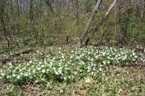 Trilliums en masse in Crerar forest.