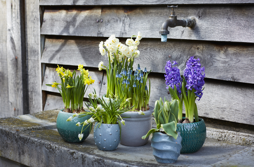 Potted spring bulbs are the Garden Plants of the Month for February