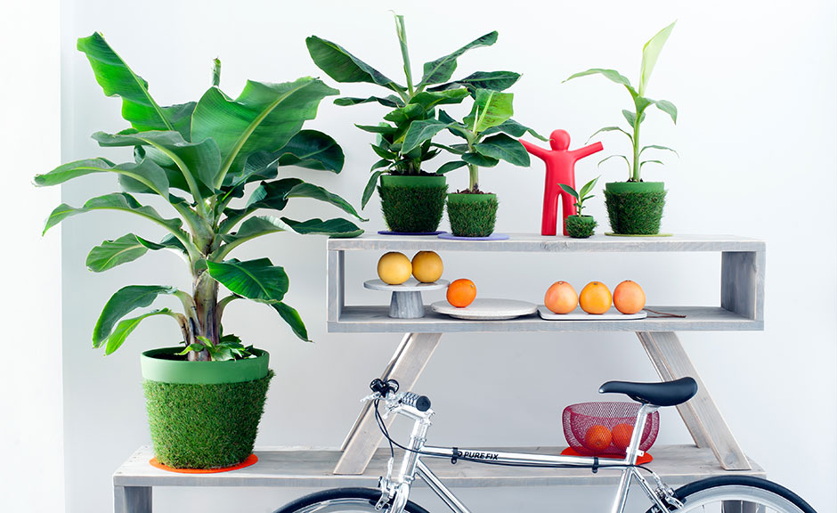 Banana tree: houseplant of the month for April