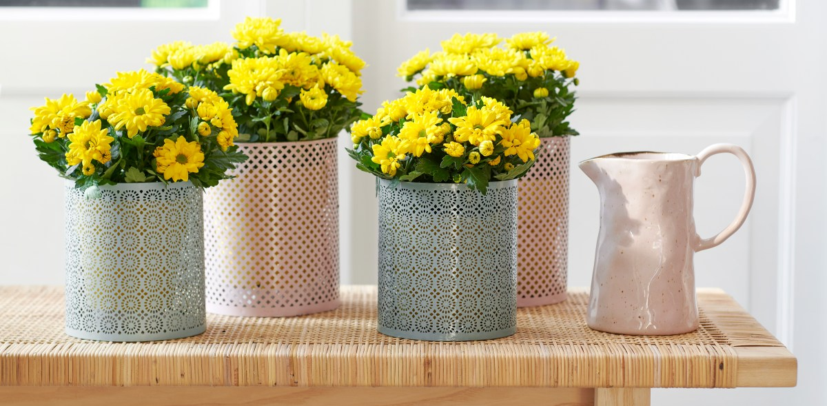 Houseplant of the Month for June: Potted chrysanthemum