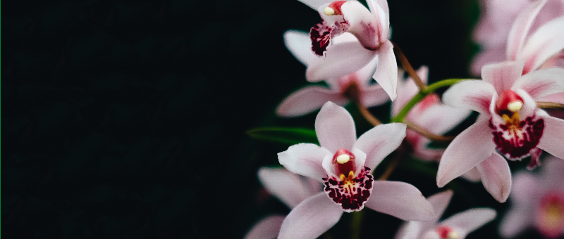 Cymbidium: Houseplant of the Month for October