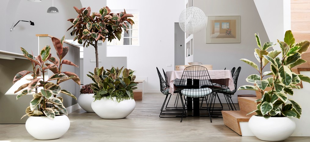 Large-leaved Ficus: Houseplant of the Month for September