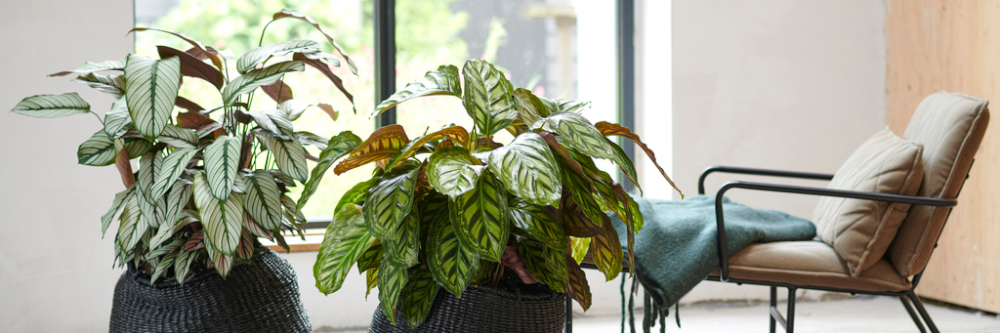 Calathea: Houseplant of the Month for November