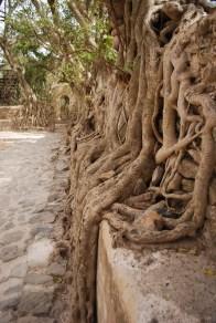 Overgrown tree roots