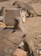 Striped mongoose looking for a feed