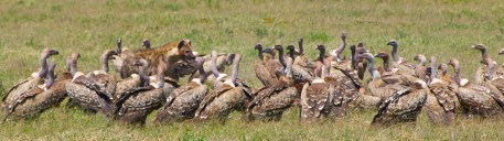 Who is more hungry, the Hyena or the vultures