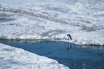 Penguins and seals-8