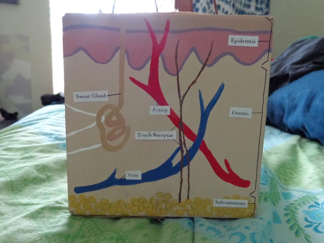 Anatomy 3d Skin Model