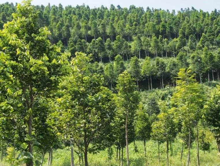 manfaat pohon gaharu