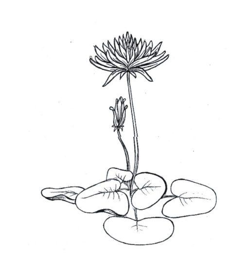 16 Contoh Gambar Sketsa Bunga Yang Mudah Digambar Hamparan