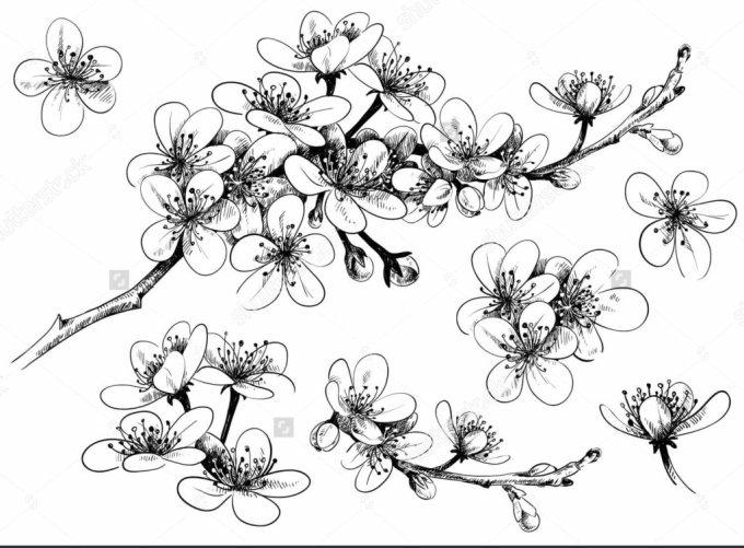 Cara menggambar bunga sakura