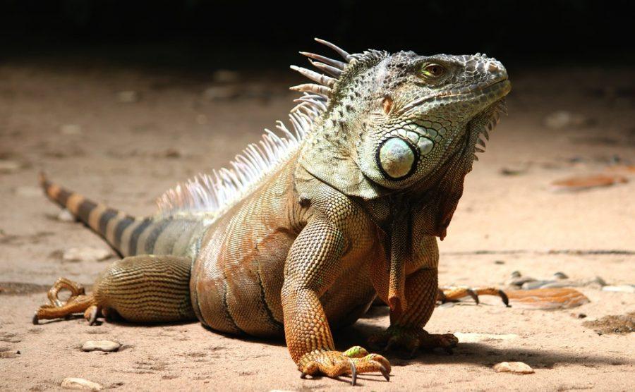 hewan vertebrata