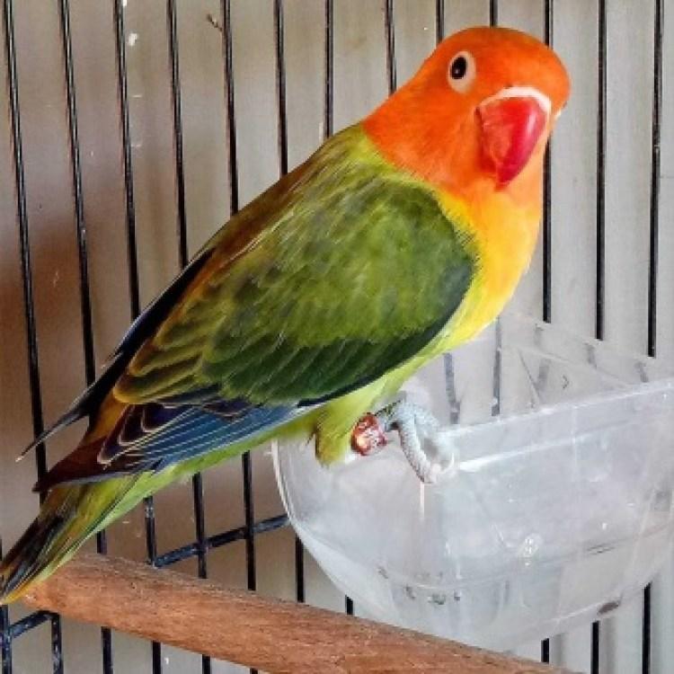Hasil gambar untuk lovebird termahal