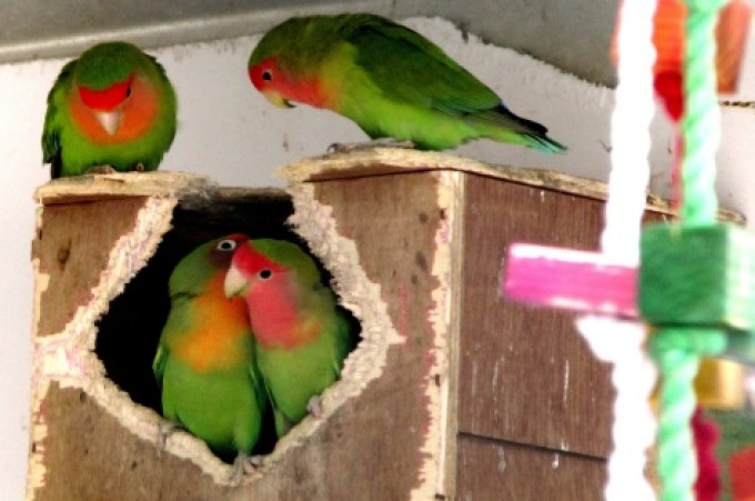 Hasil gambar untuk menjodohkan lovebird