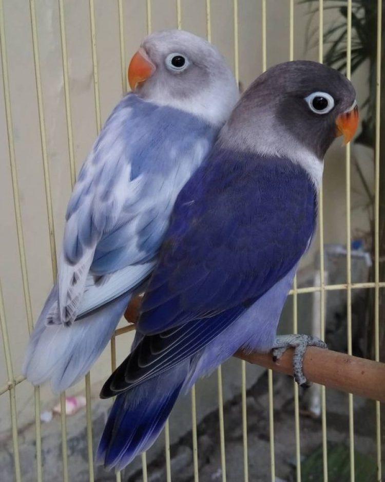 cara meloloh lovebird violet