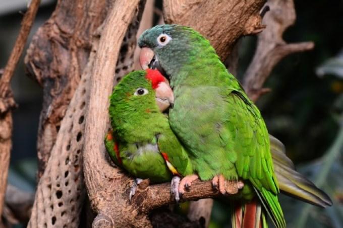 Hasil gambar untuk cara membedakan lovebird jantan dan betina
