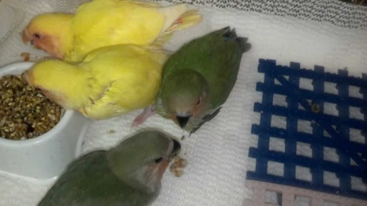 Hasil gambar untuk food baby lovebird