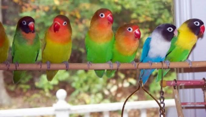 Hasil gambar untuk lovebird warna warni