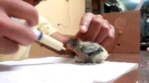 Hasil gambar untuk lovebird hand feeding