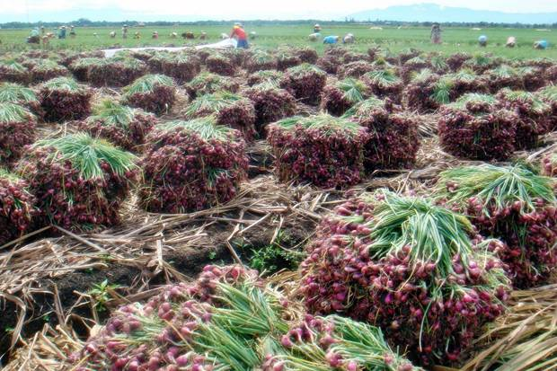 cara tanam dan budidaya bawang merah