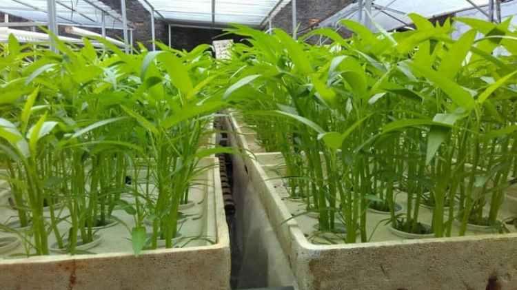 cara menanam kangkung cabut