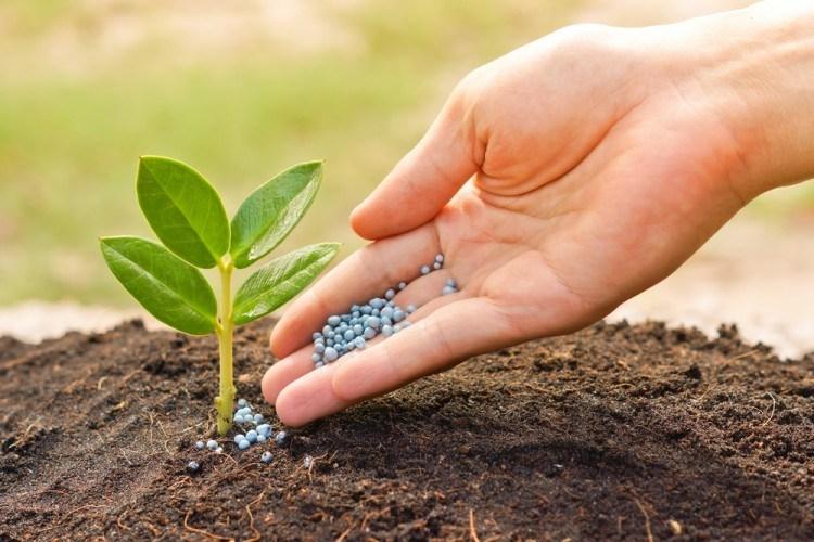 cara budidaya tanaman bawang putih
