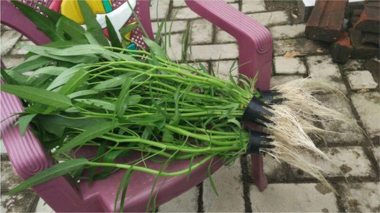 cara menanam kangkung secara hidroponik