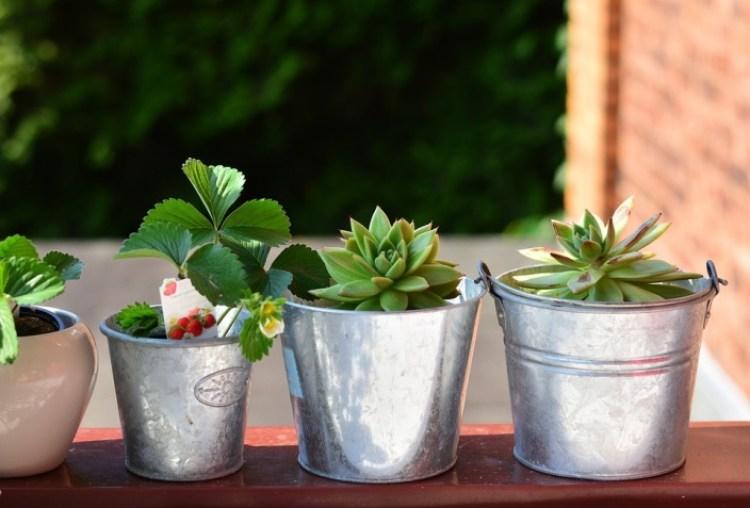 cara menanam stroberi agar cepat berbuah