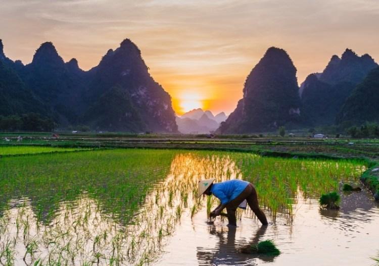cara menanam padi hidroponik