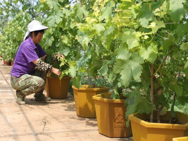 3 Panduan Cara Menanam Anggur (Panen Berkualitas dan Melimpah)