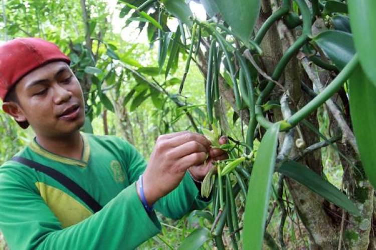 tanaman vanili